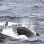 Long finned pilot whale Credit Bill Thompson USFWS