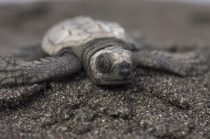 green sea turtle hatchling 000007 Michael Carey