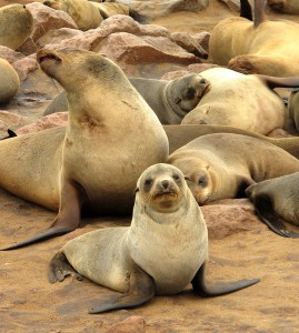 Cape fur seals by Mindy McAdams - macloo on Flickr - Cape Cross Namibia 2010