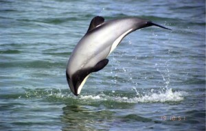 Maui dolphin myspace