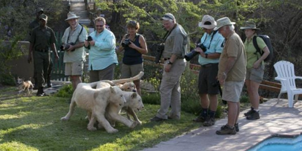 Tourists Playing with White Lions at Lion Tree Top Lodge