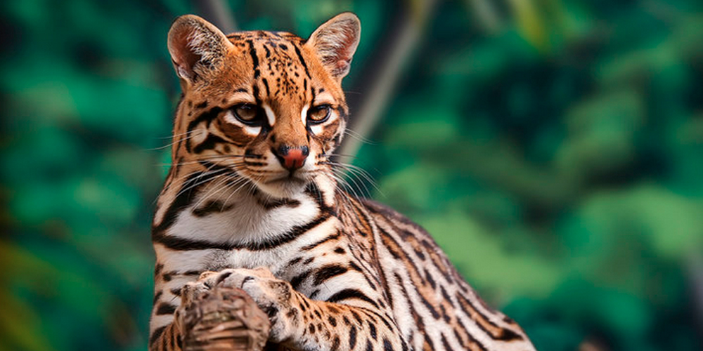 The Ocelot would likely become extinct in New Mexico if the proposed wall goes ahead
