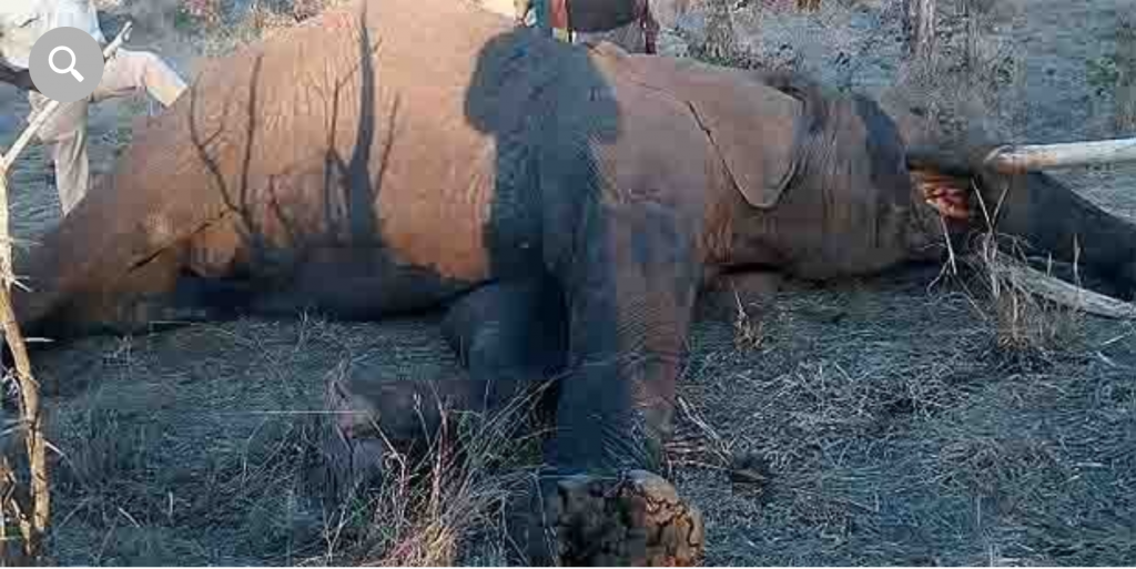 The elephant called Mbanje, which translates to Cannabis, was shot dead after it was deemed he was still in a state of rage and was a danger to the public.