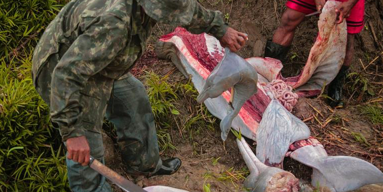 Pink dolphin are increasingly hunted for catfish bait