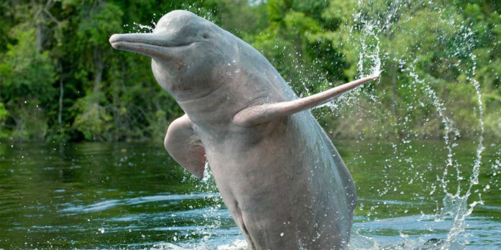 Pink dolphin are facing multiple threats in the Amazon and elsewhere