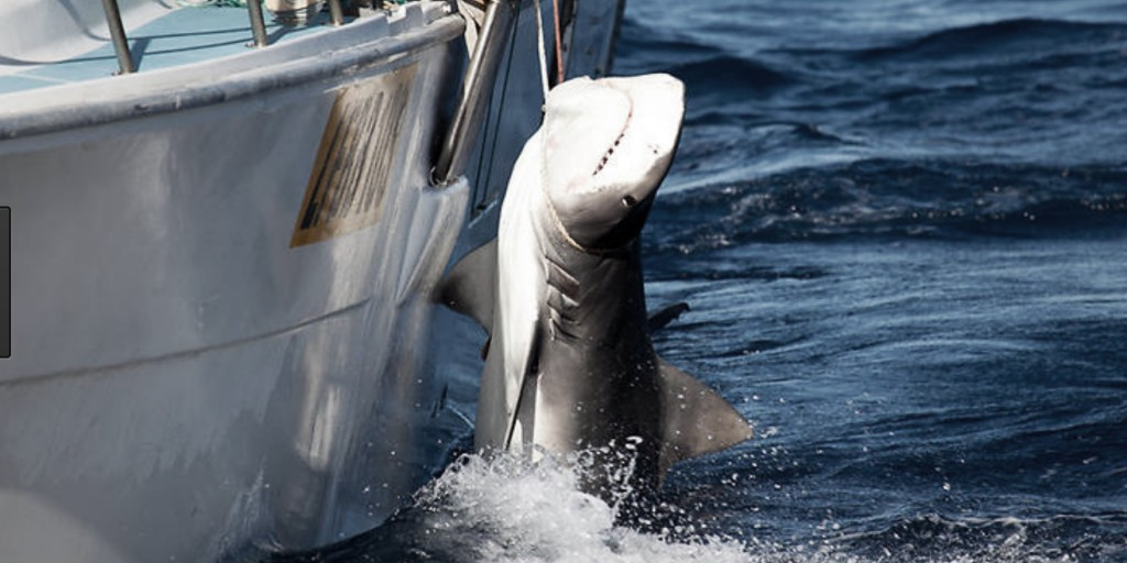 South Australia's Shark Cull has been widely ridiculed by Scientisits