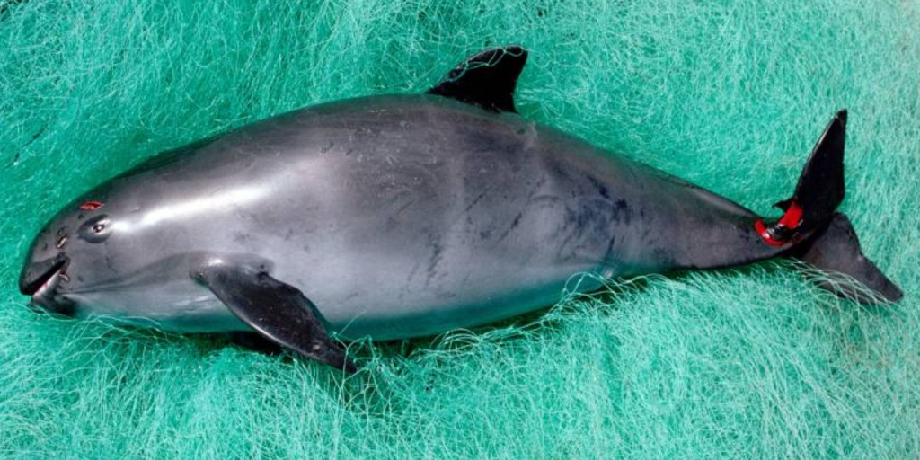 The last of the Vaquita are to be rounded up and placed in captivity